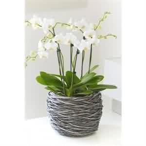 altı dallı orkide
