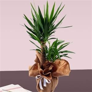 Tropik  Yucca