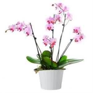 Orkide Gönderme