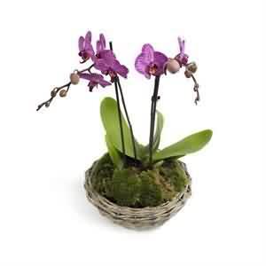 Phalanopsis Orkide