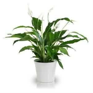 Spathiphyllum Gönderme