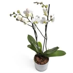 Orkide Siparişi