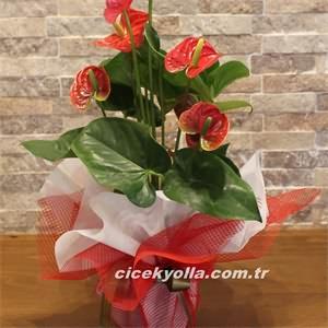 Afyon Saksı Çiçeği Gönderme