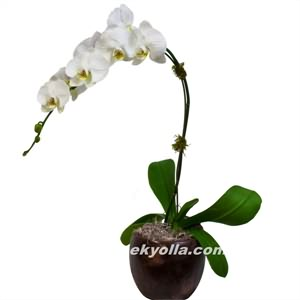 Afyon Orkide Siparişi