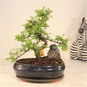 Japon Bonsai Ağacı