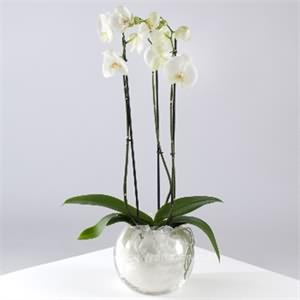 Cam İçerisinde 2li Orkide