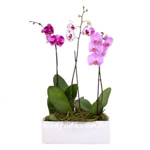 Orkide Çiçekçi