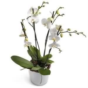 Orkide Sipariş