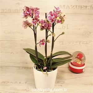 Çizgili 2 Dallı Orkide