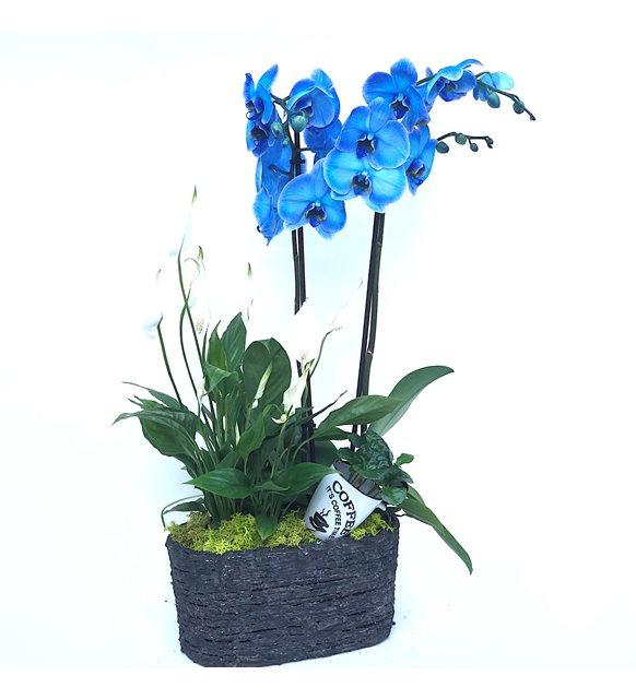 2 Dal Mavi Orkide Beyaz Şans Çiçeği Serisi