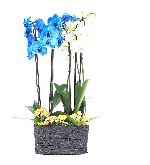 4 Dal Mavi Ve Beyaz Orkide
