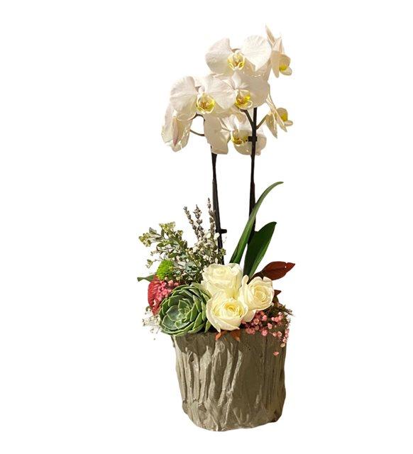 Beyaz Güllü Orkide Sukulent Serisi