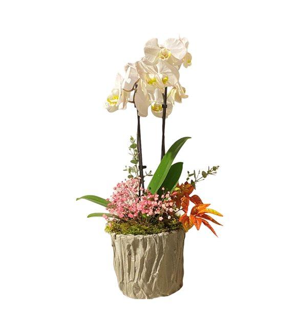 Brian Beyaz Orkide Serisi