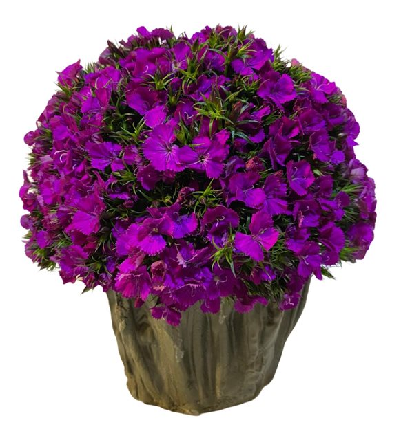 Galina Mevsim Çiçeği