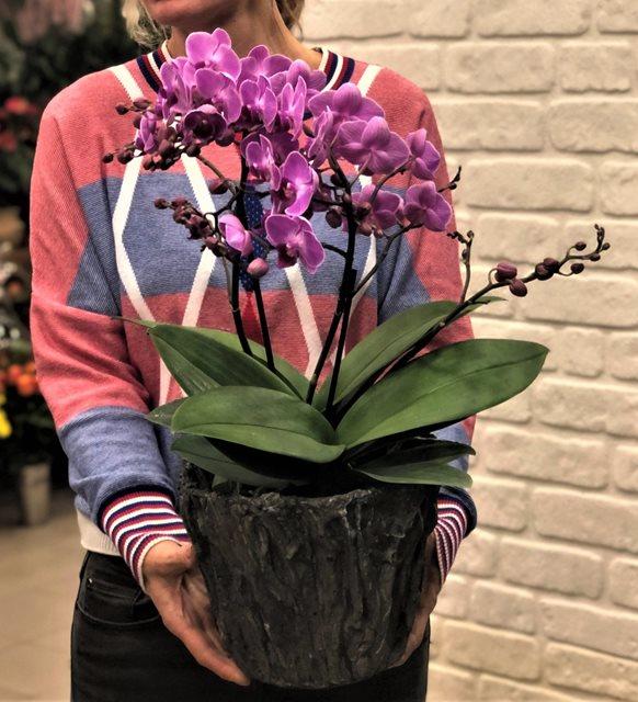 Magan 2li Midi Orkide