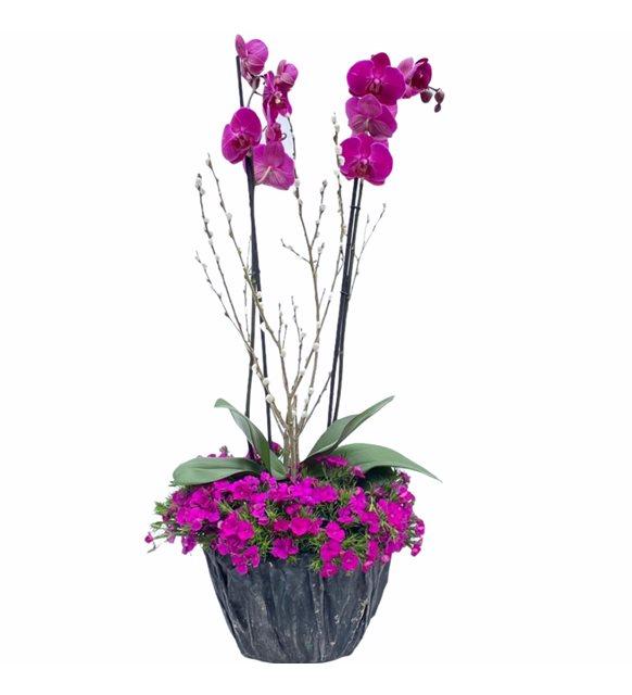Renkli Mor Orkide