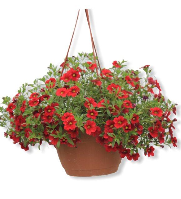 Saksıda Renkli Mine Çiçeği