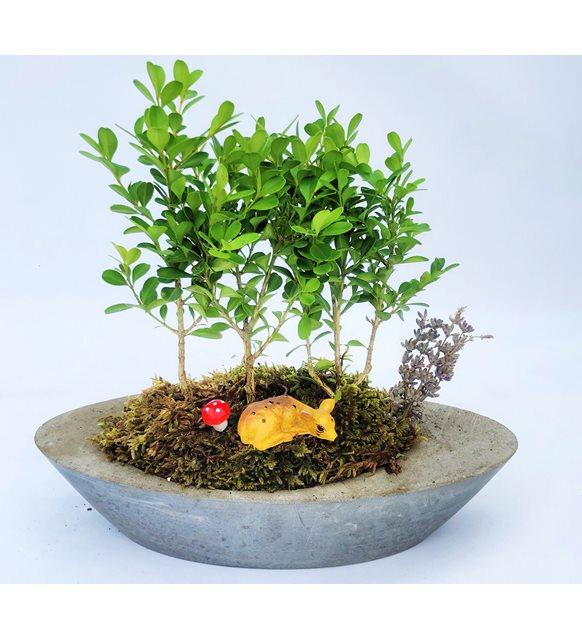 Şimşir bonsai serisi