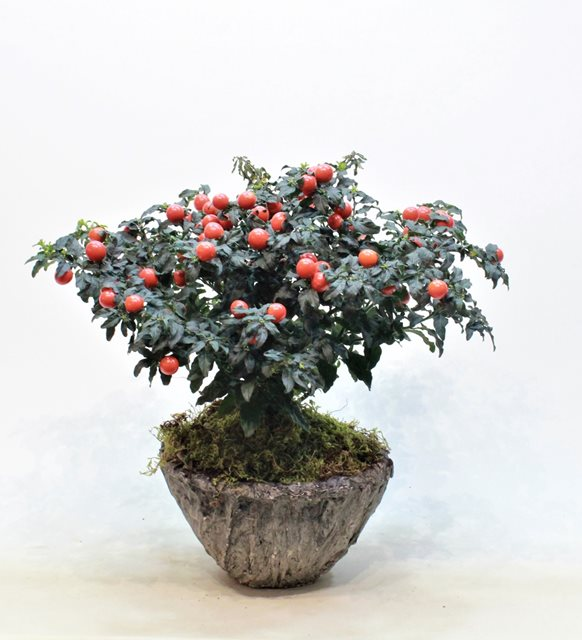 Kudüs Kirazı Solanum