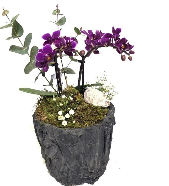 Saksıda Mini Orkide Serisi