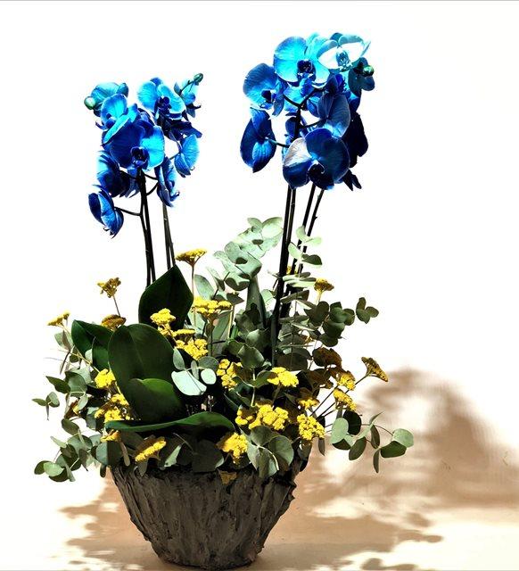 Stabil Mavi Orkide