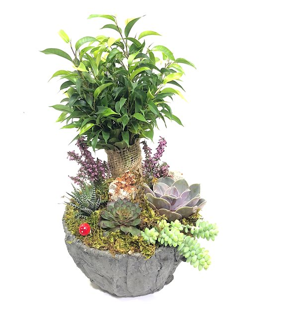 Suvi Ficus Benjamin Serisi