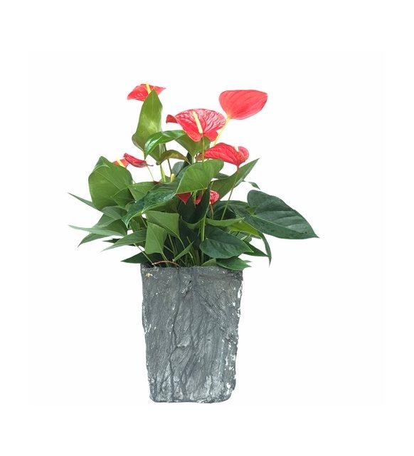 Xlarge Antoryum Çiçeği