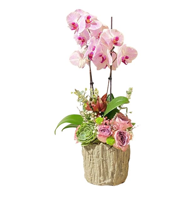 Agatha Orkide Gül Serisi