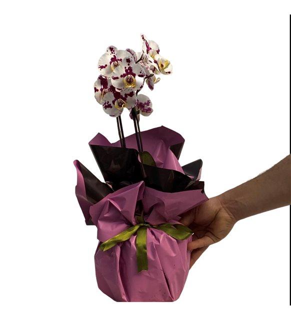Balca Renkli Midi Orkide Serisi