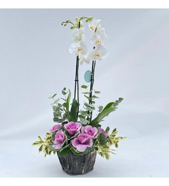 Beaucarnea 2 Dallı Beyaz Orkide Serisi