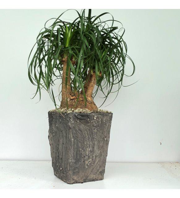 Beaucarnea Recurvata Nolina Bonsai Serisi