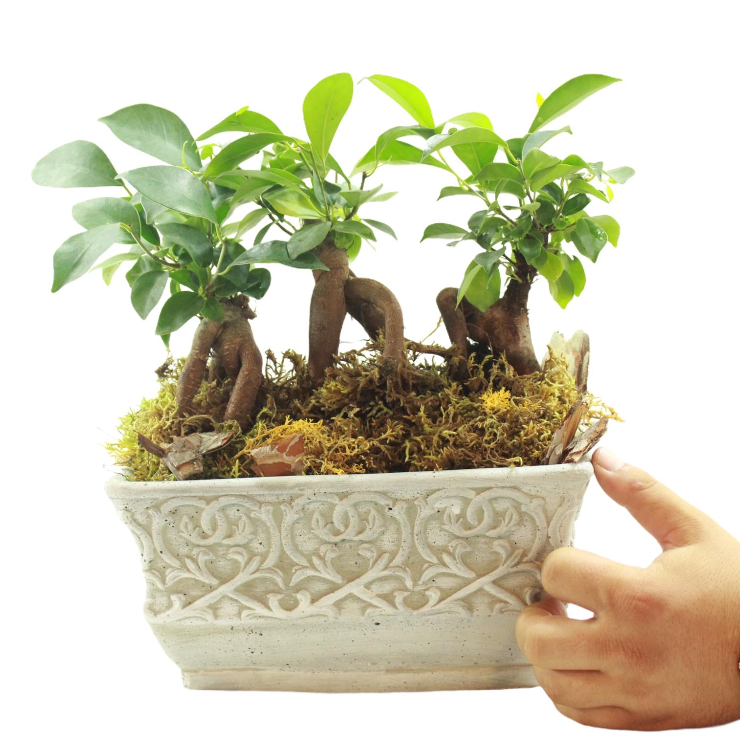 Dekoratif Saksıda Ginsenğ Bonsai