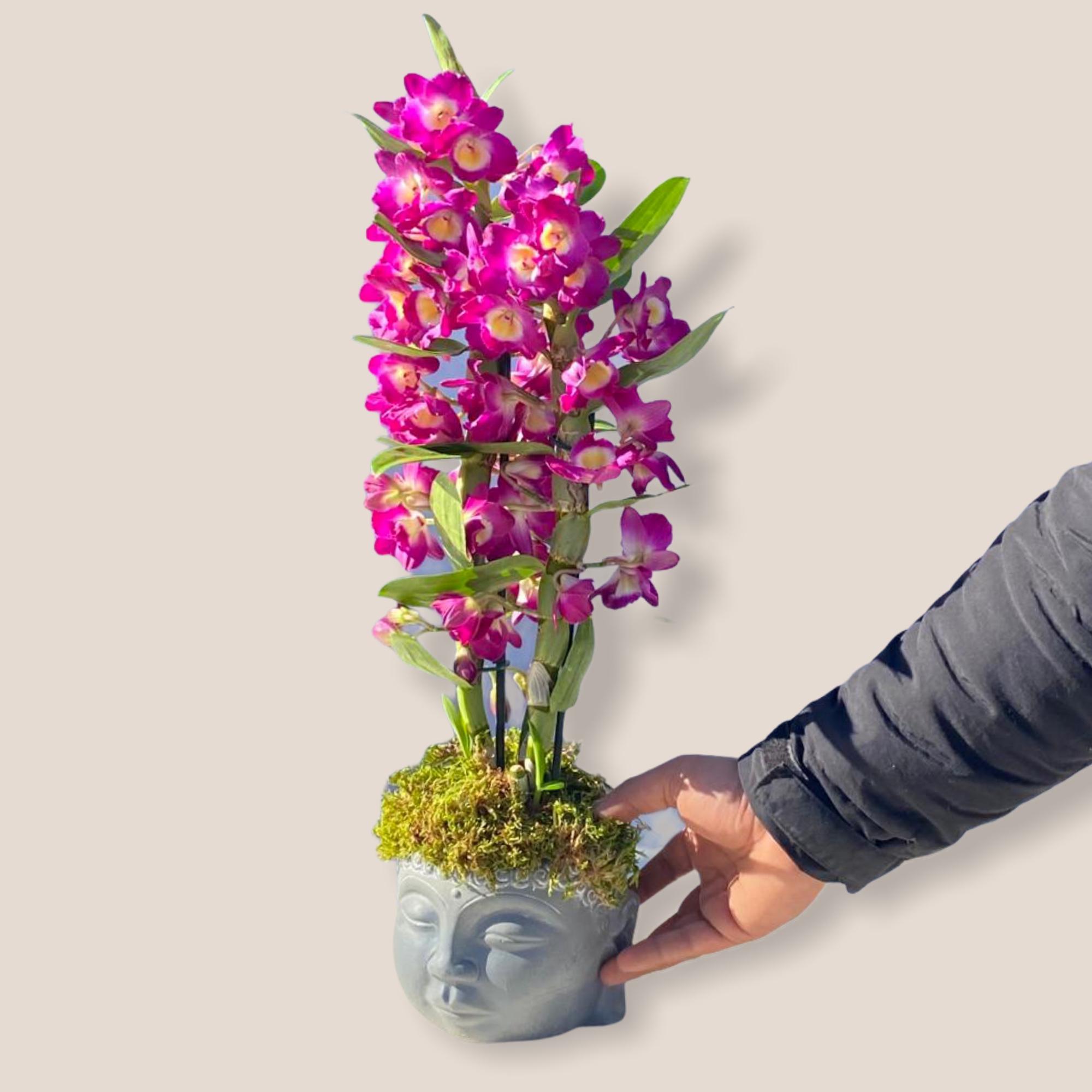 Dendrobium Kokulu Orkide