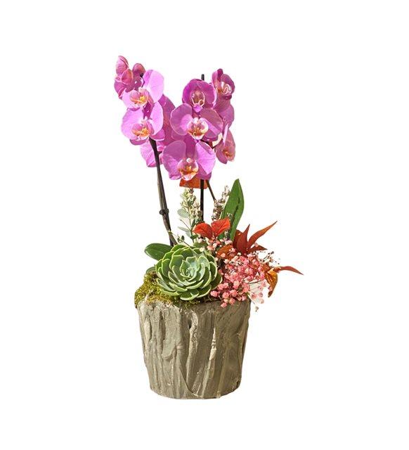 Doroty Orkide Sukulent Serisi