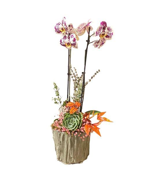Listal Sukulent Midi Orkide Serisi
