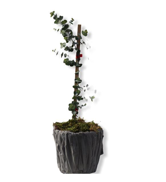 Okaliptus Ağacı