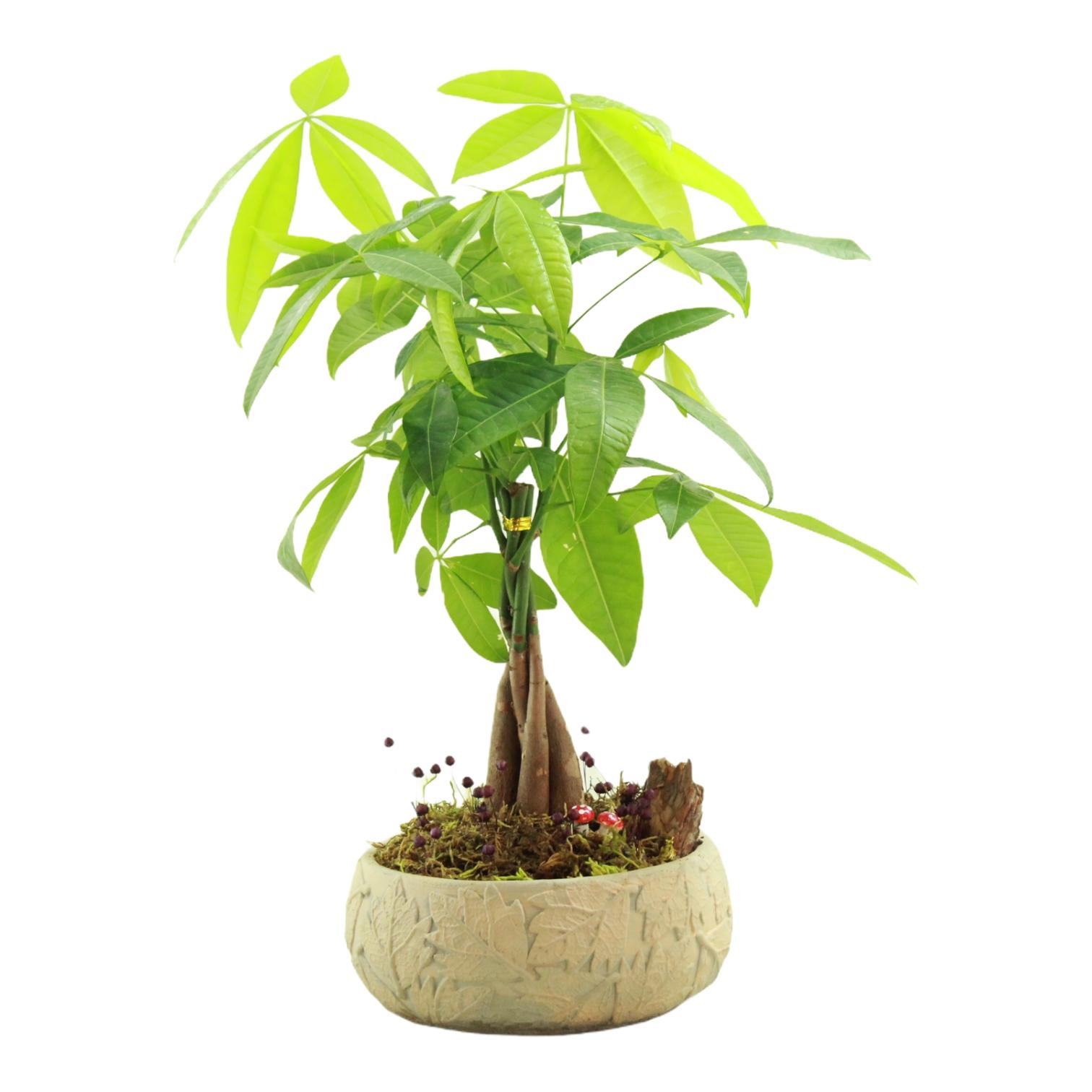 Pacira Para Ağacı Bonsai
