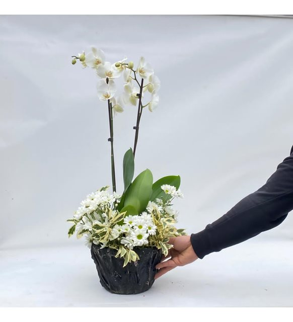 Papatyalı Orkide serisi