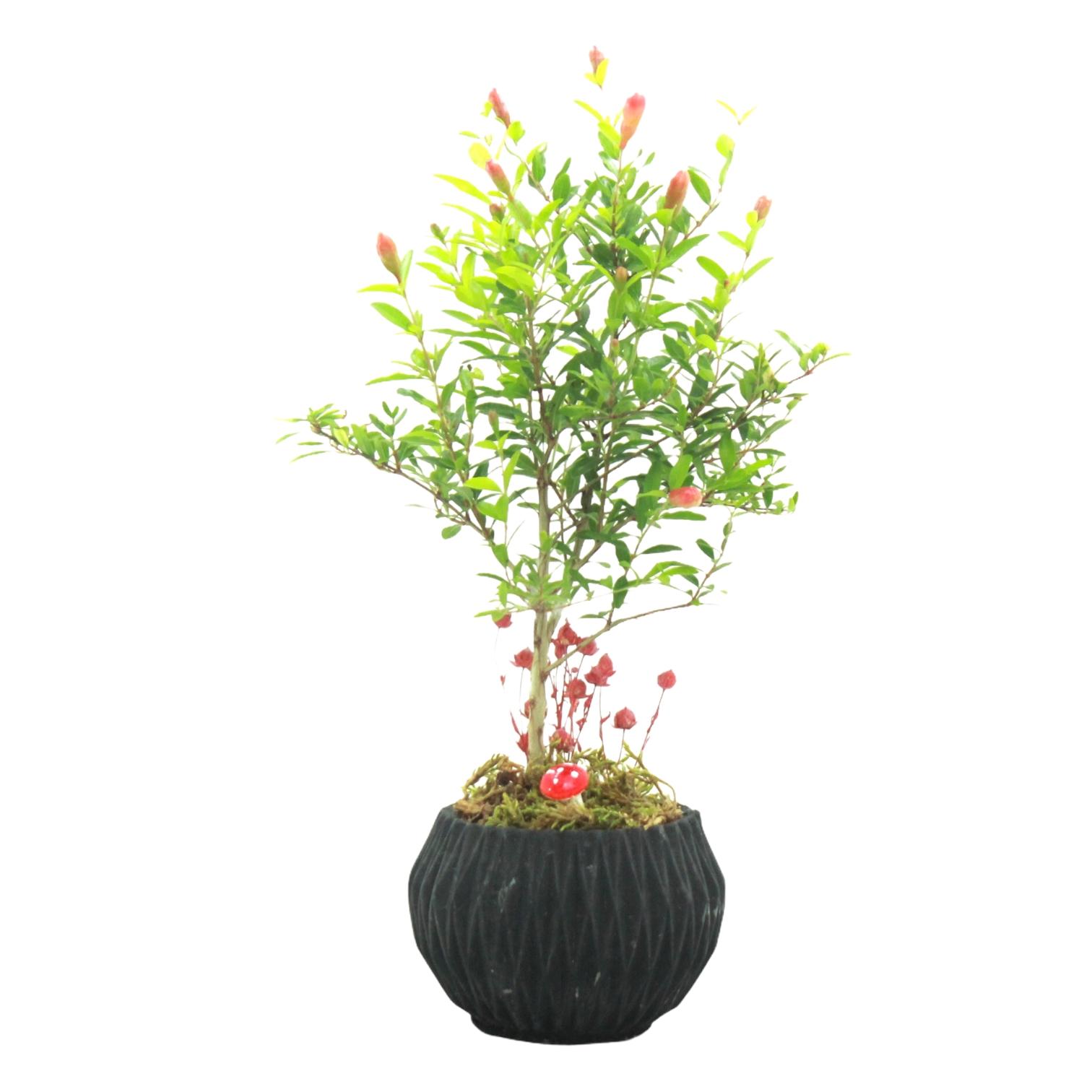 Nar Bonsai