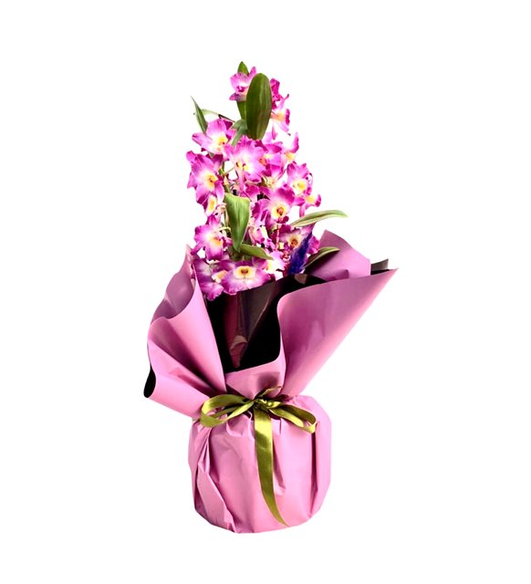 Renkli Dendrbium Orkide