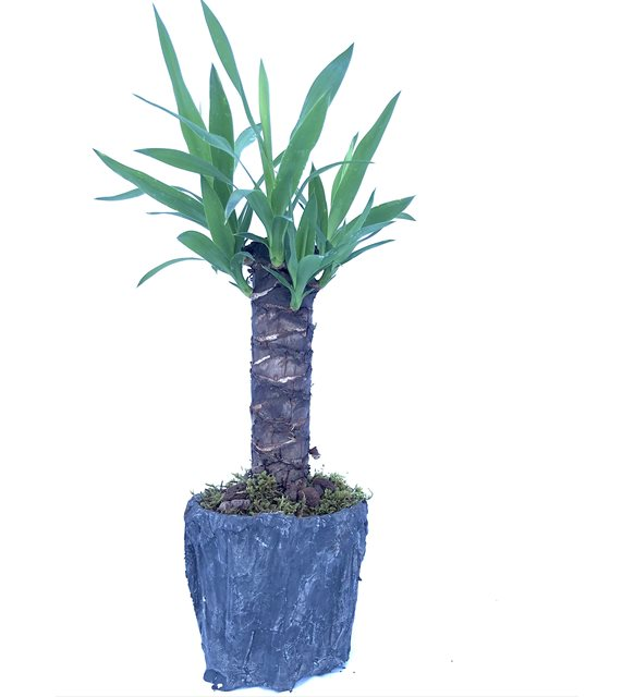 Tropikal Yuka Bitkisi